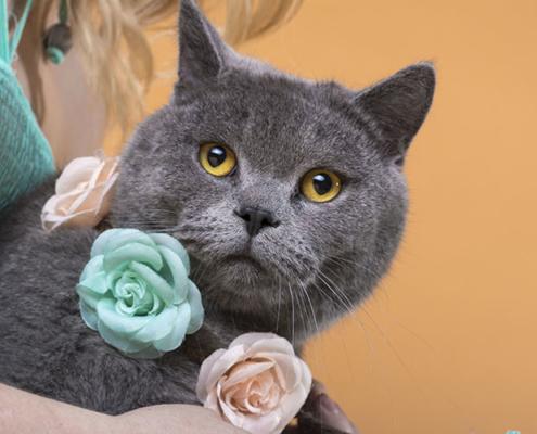 Tierfotografie British Shorthair Katze in München